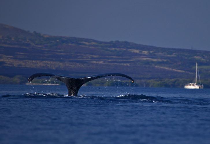 sounding_humpback